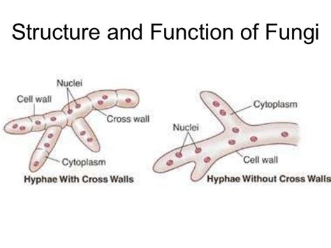 fungi diagram biology chp 21 fungi powerpoint