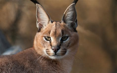 wallpaper egypt cat a wild caracal wallpapers and images wallpapers