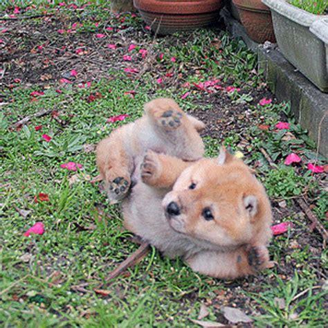 ta puppies shiba inu puppies ta puppy