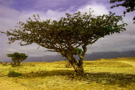 the healing qualities of frankincense essential oil