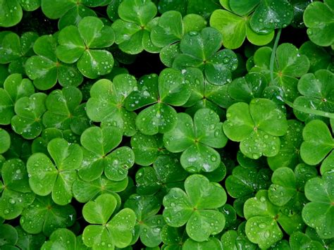 Clover Green wallpapers shamrock wallpaper cave
