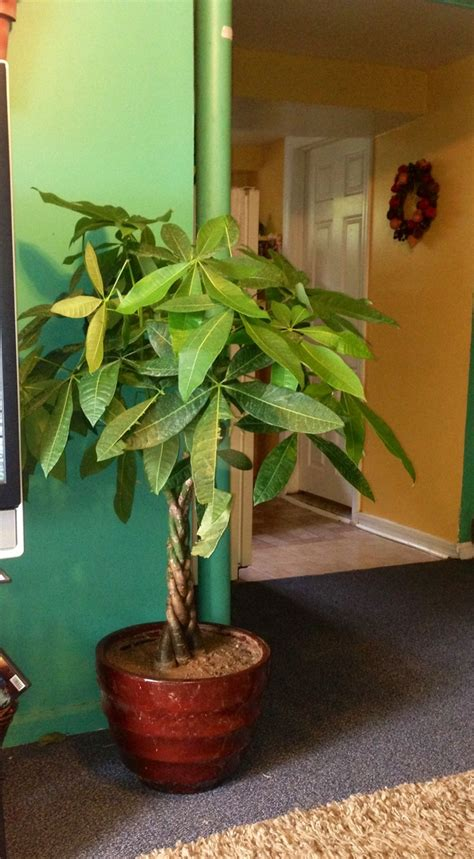 money tree plant beutiful for the home its a inside door