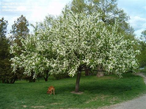Usda Home Search by Plantfiles Pictures European Bird Cherry Prunus Padus
