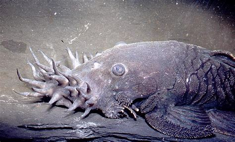 Cat Fish the electric catfish and 6 more catfish species