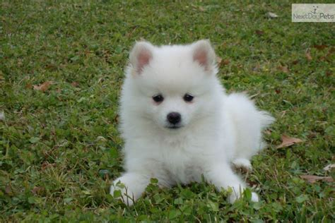 american eskimo puppies american eskimo puppy for sale near lafayette louisiana 86934237 acf1