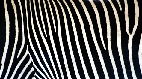 zebra pattern image zebra print wallpapers archives hd desktop wallpapers