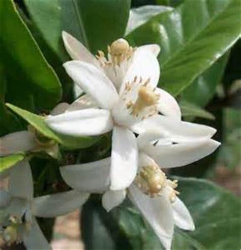 fiore di zagara fiori di zagara tacco 12 ballerine