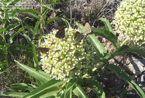 Olive Garden Lincoln Ne by Bug Pictures Juniper Hairstreak Cedar Hairstreak Olive