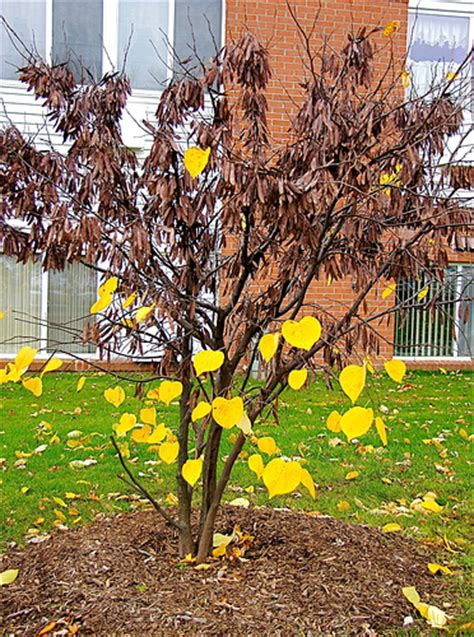 redbud tree in the fall flickr photo sharing