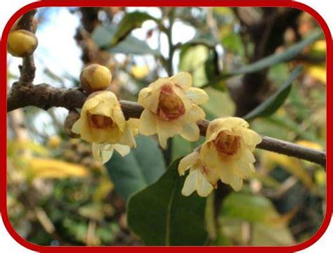 calicanto fiore calicanto consigli coltivazione e cura