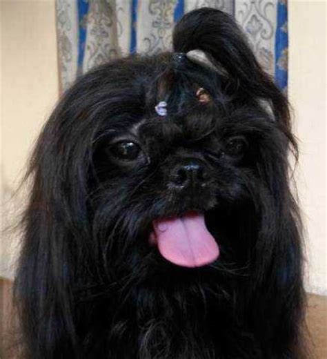 shih tzu forum philippines black shih tzu stud service princess type p500 only services from manila metropolitan