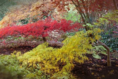 american maple tree uk all about the japanese maple growing family