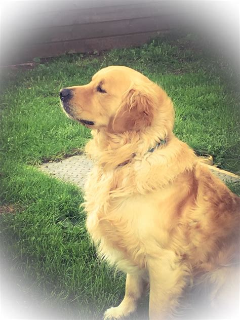 golden retriever stud golden retriever for stud market drayton shropshire pets4homes