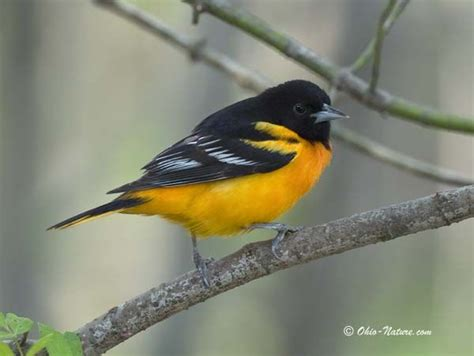222 best birds from ohio images on pinterest columbus
