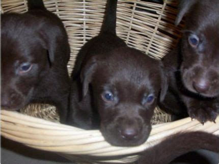 free lab puppies in michigan the world s catalog of ideas