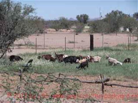 can i goats in my backyard goat walking