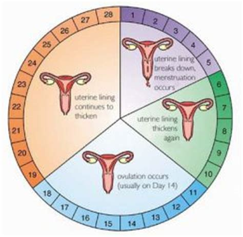 What is menstrual cycle? Female Period Cycle