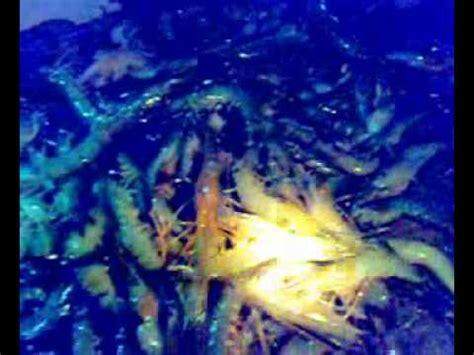 Lobster Air Tawar Pontianak ternakan udang harimau doovi