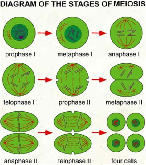 phases of meiosis diagram major functions of mitosis and meiosis