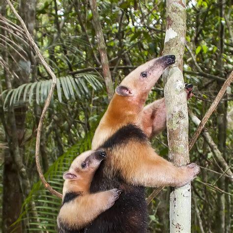 southern tamandua tamandua tetradactyla  animals