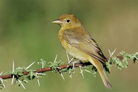 summer tanager audubon field guide