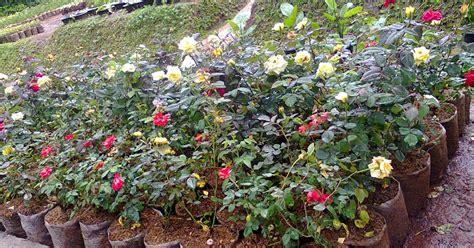 jual pohon mawar tanaman hias bunga jual tanaman hias