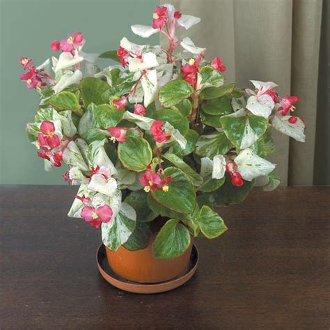begonia calla lily begonia fibrous hybrid indoor and