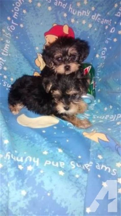 teacup yorkie for sale in maryland gorgeous teacup yorkie poo puppies for sale in clinton maryland classified