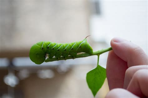 tomato hornworms how to identify and get rid of tomato hornworms the old farmer s almanac