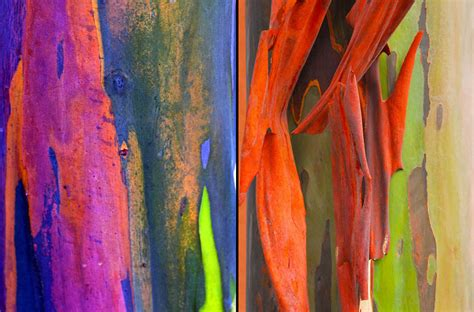 rainbow trees living rainbow rainbow eucalyptus most beautiful tree