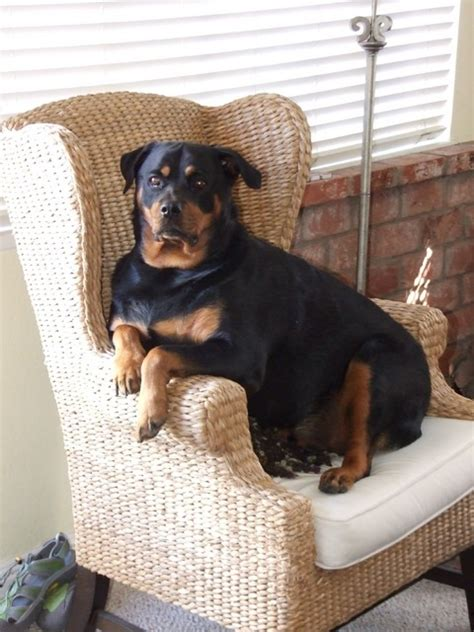 german haired rottweiler 17 best images about rottweiler on best dogs