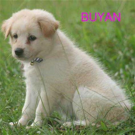 kintamani jual anak anjing artikel anjing adopsi