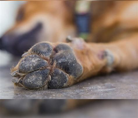 hyperkeratosis paw how to heal paw pad hyperkeratosis company paw soother