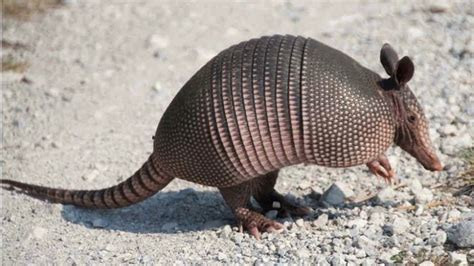 Armadillo Pet Pet Pet Product by 66 Best Images About Animals Armadillos On