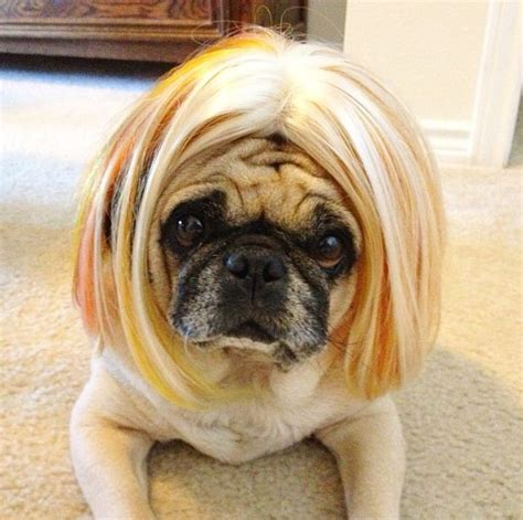 pug with wig pug bob dogs pugs in wigs bobs and bobs