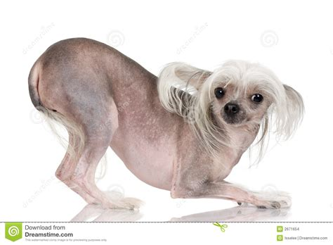 crested hairless puppies crested hairless stock images image 2671654