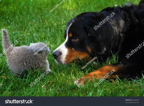 haired bernese mountain haired cat and mountain bernese sniffing stock photo 58142656