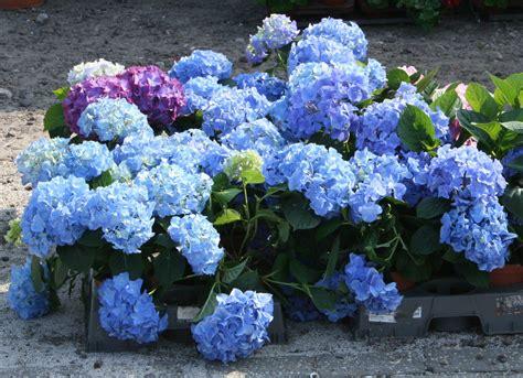 hortensie endless summer standort 2338 hydrangea hortensie direkt aus der baumschule in