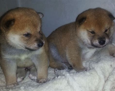 shiba inu puppies for sale japanese shiba inu puppies for sale boston lincolnshire pets4homes