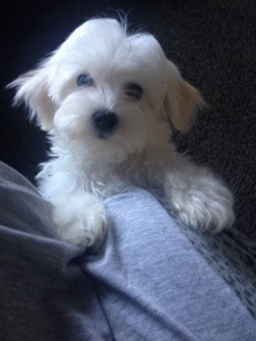 havanese bichon frise havanese bichon frise cleckheaton west pets4homes