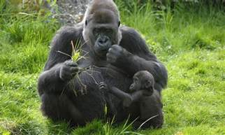 Gorilla gorillas interesting facts and pictures all wildlife photographs