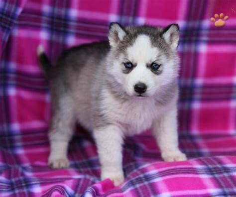 free husky puppies for sale puppies for sale in united kingdom dogs and puppies dogs breeds picture