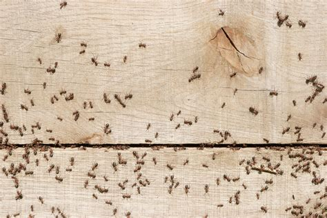 Ants In Kitchen by Keeping Ants Out Of The Kitchen Plunkett S Pest