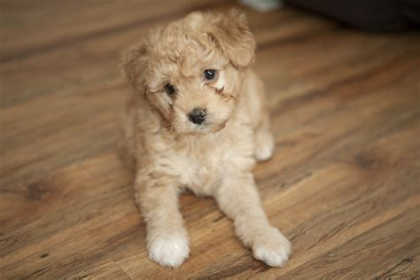 goldendoodle puppy rescue mini goldendoodle rescue florida breeds picture