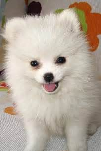 White Fluffy by Small Fluffy Dogs Www Imgkid The Image Kid Has It