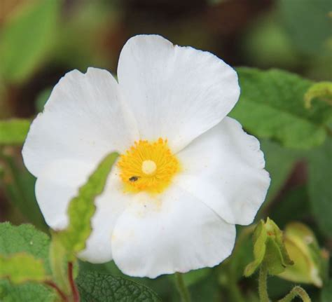 Somerset Gardens White Rock Buy Rock Cistus X Hybridus Plants Kelways