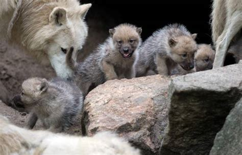 arctic wolf puppies fluffy arctic wolf pups emerge from den mnn nature network