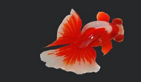 Jenis Pakan Ikan Koki ikan koki butterfly hewan id