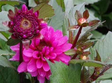 vasco ros dahlias surprises 2015 etat sauvage