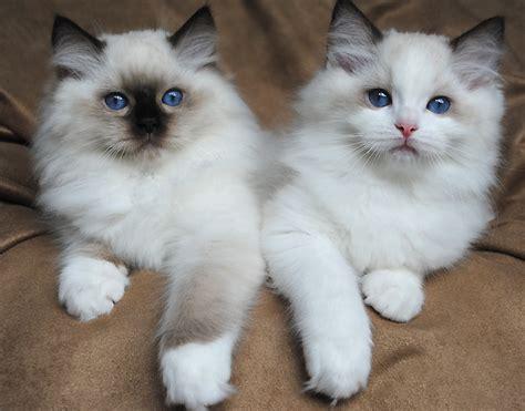 ragdoll cat breed ragdoll cat breed 20 beautiful ragdoll images to melt